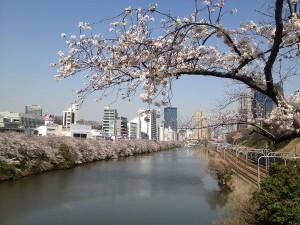市ヶ谷のお濠の桜。満開宣言直後,桜一色でした。
