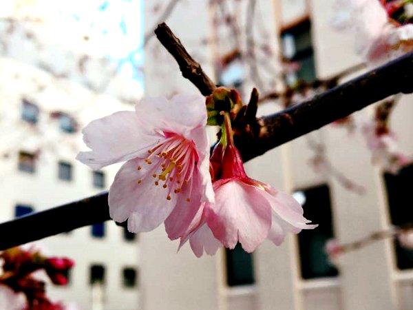 2016年2月下旬、横浜みなとみらいの桜は咲き始めていました。
